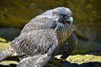 Schreiender Falke......