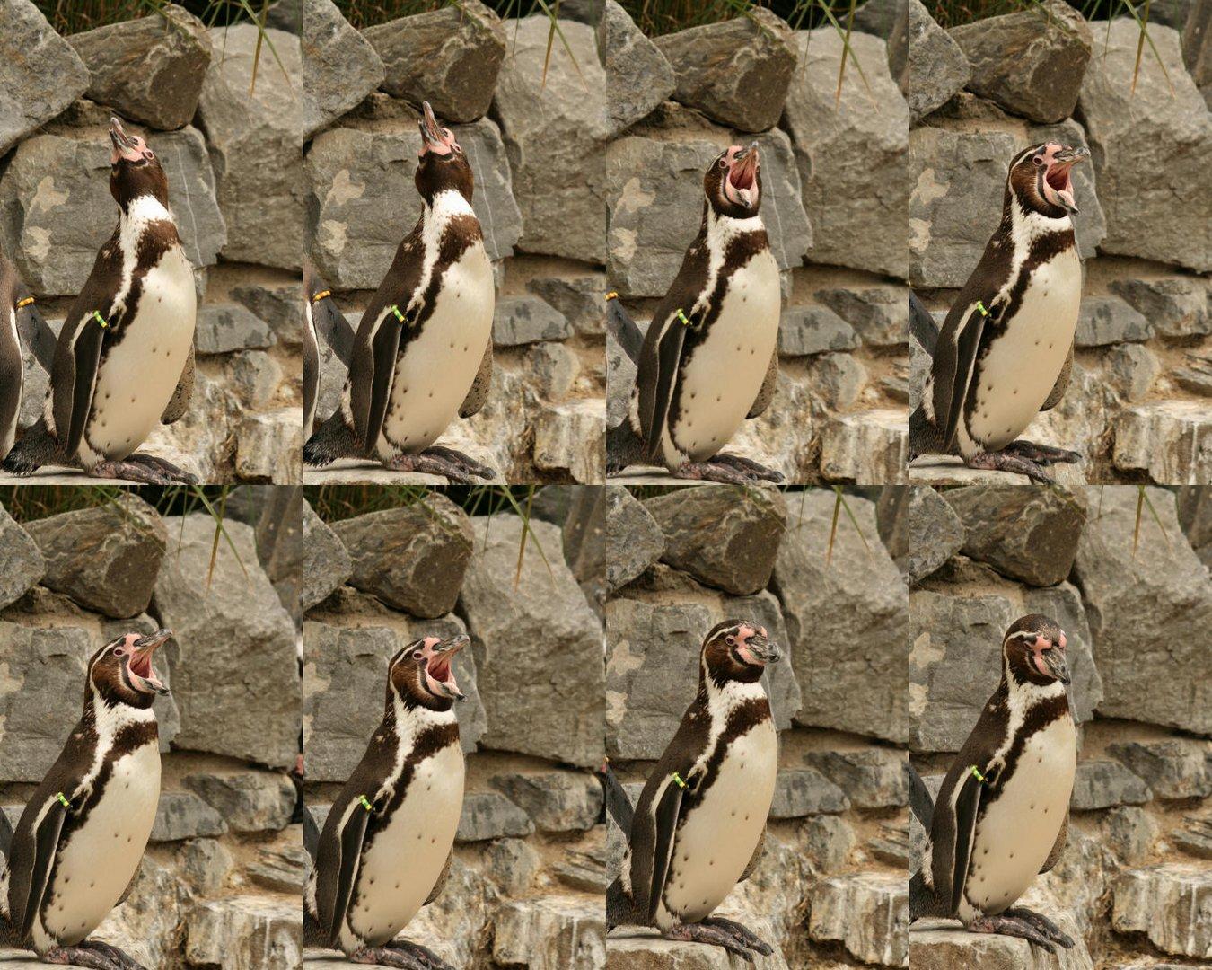 Schreiender Pinguin im Kölner Zoo