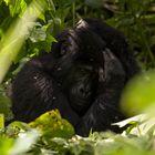 Schüchterne Gorilladame