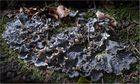 Schuppen-Hundsflechte (Peltigera praetextata)