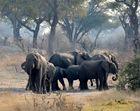 Schutz der Kälber in der Elefantenherde