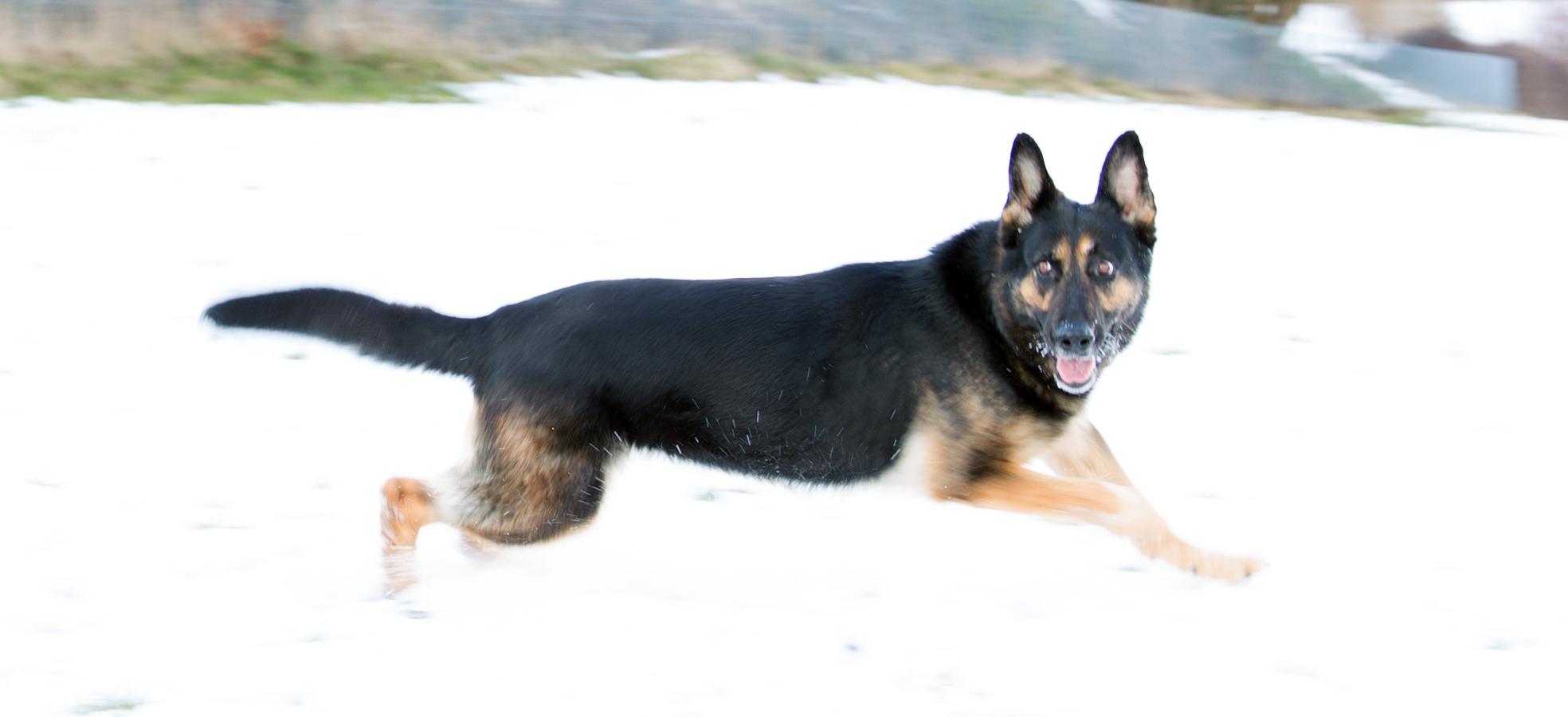 Schutzhund Schnee 3