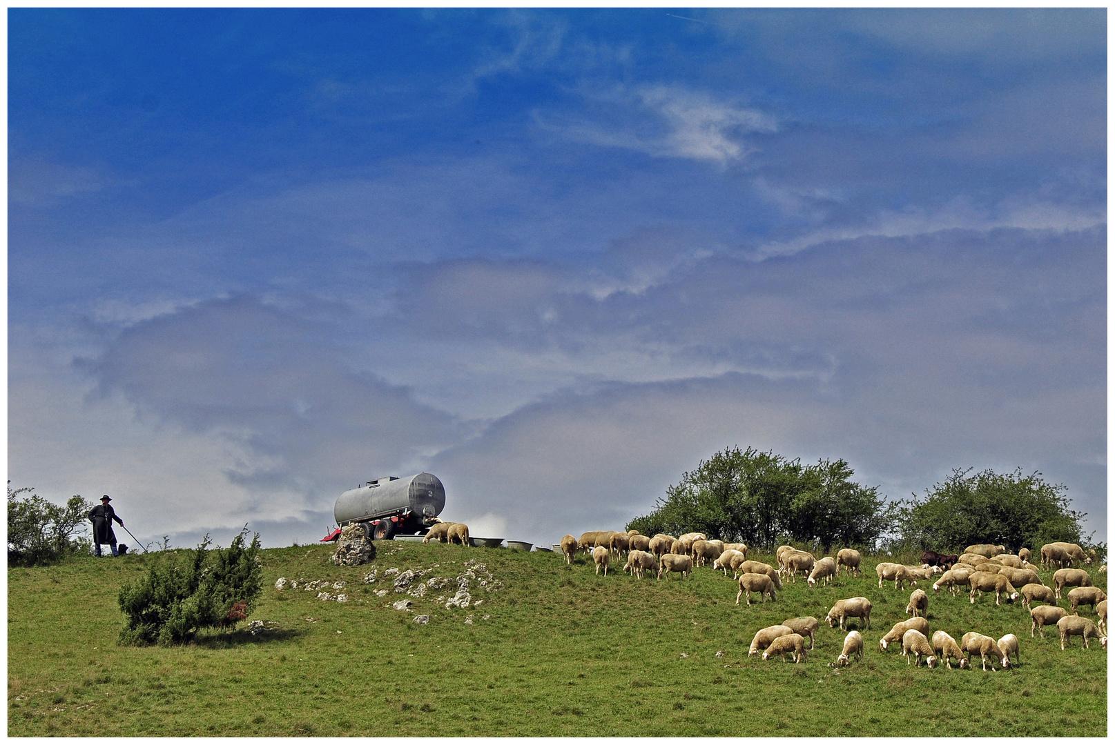 Schwäbische Schafe