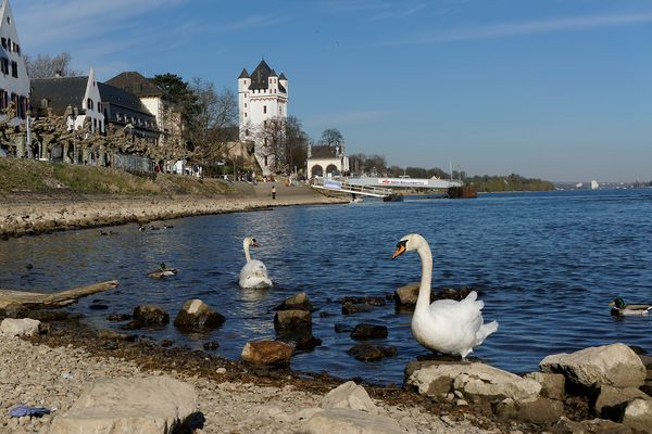 Schwäne am Rheinufer