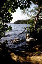 Schwäne am Schweriner See