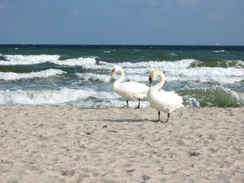 Schwäne an der Ostsee