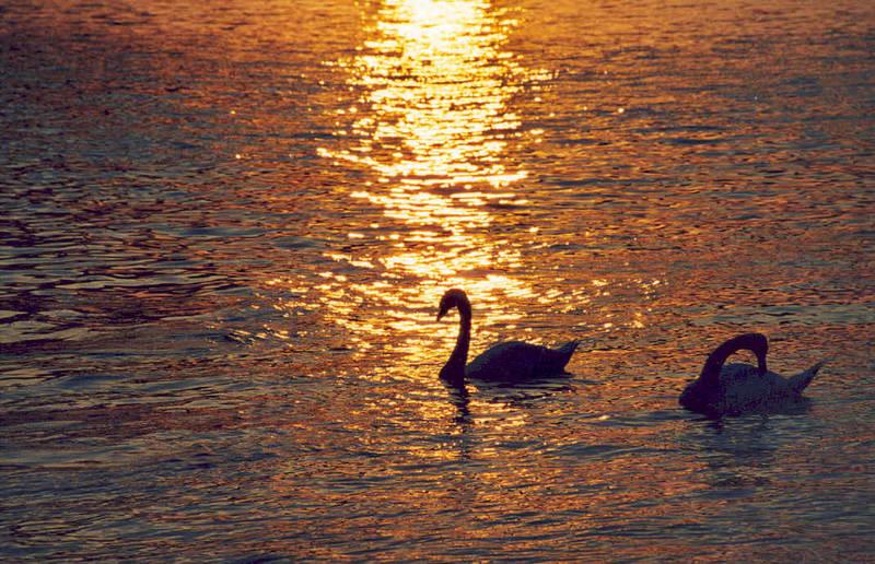 Schwäne auf dem Rhein in Mainz im Sonnenuntergang