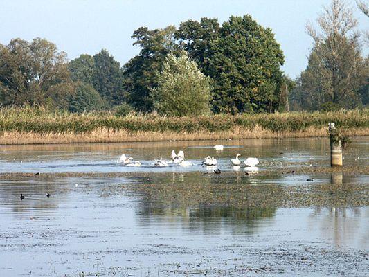 Schwäne auf dem Stradower Teich