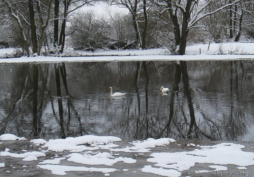 Schwäne im Hochwasser