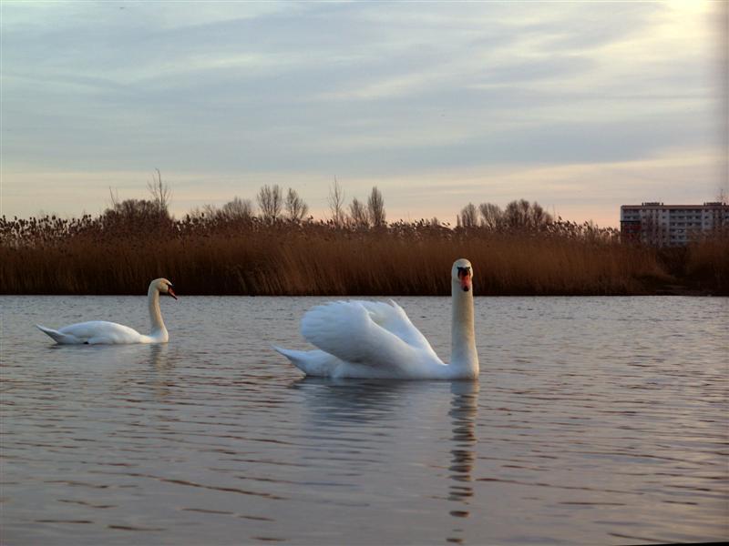 Schwäne - Neustädter See (Magdeburg)