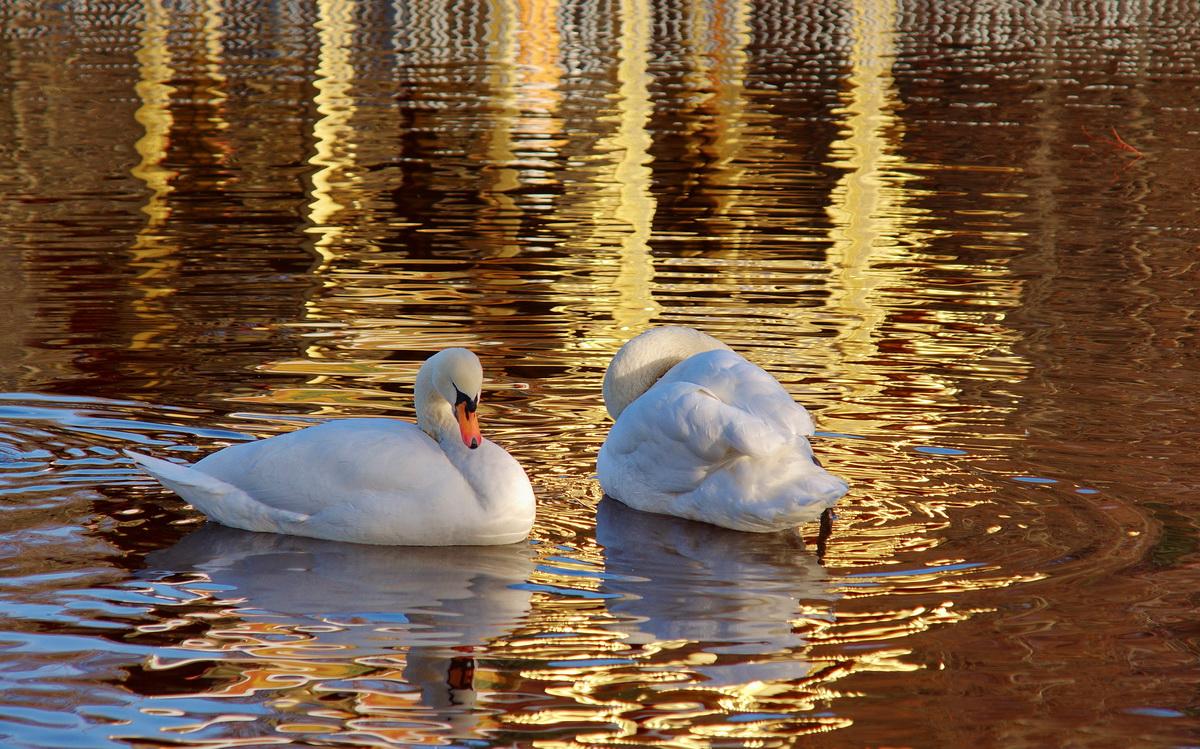 Schwäne schwimmen im Gold