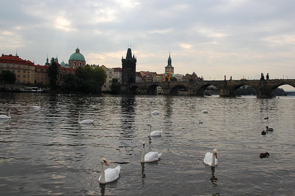 Schwäne vor der Karlsbrücke