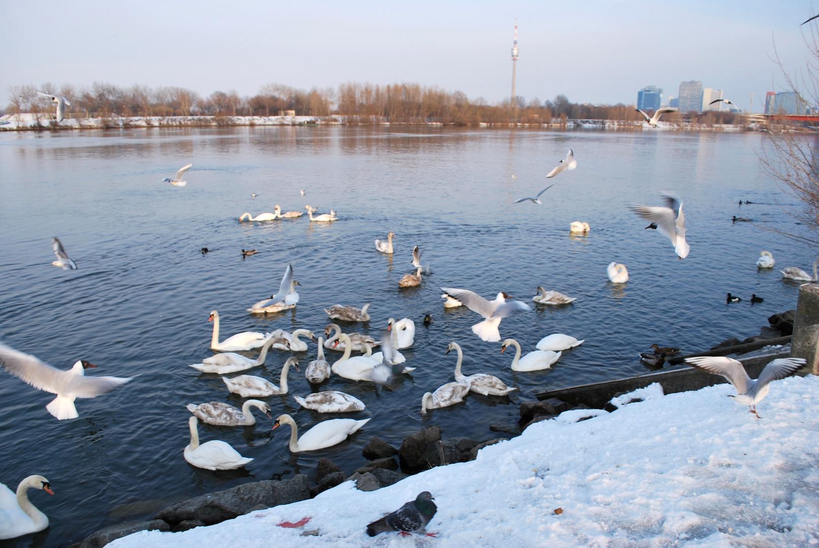 Schwäne & Winter