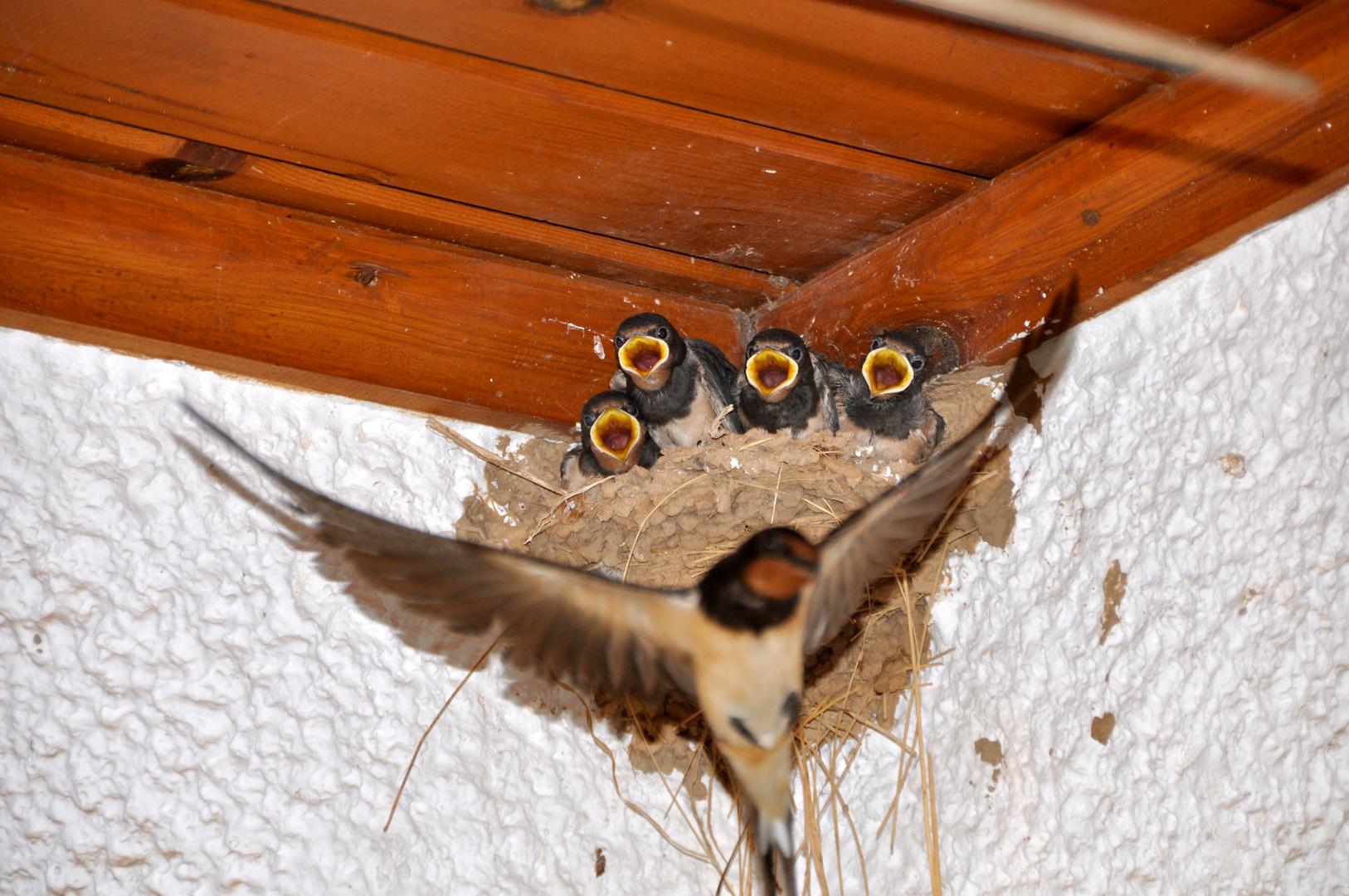 Schwalbennest unter dem Vordach