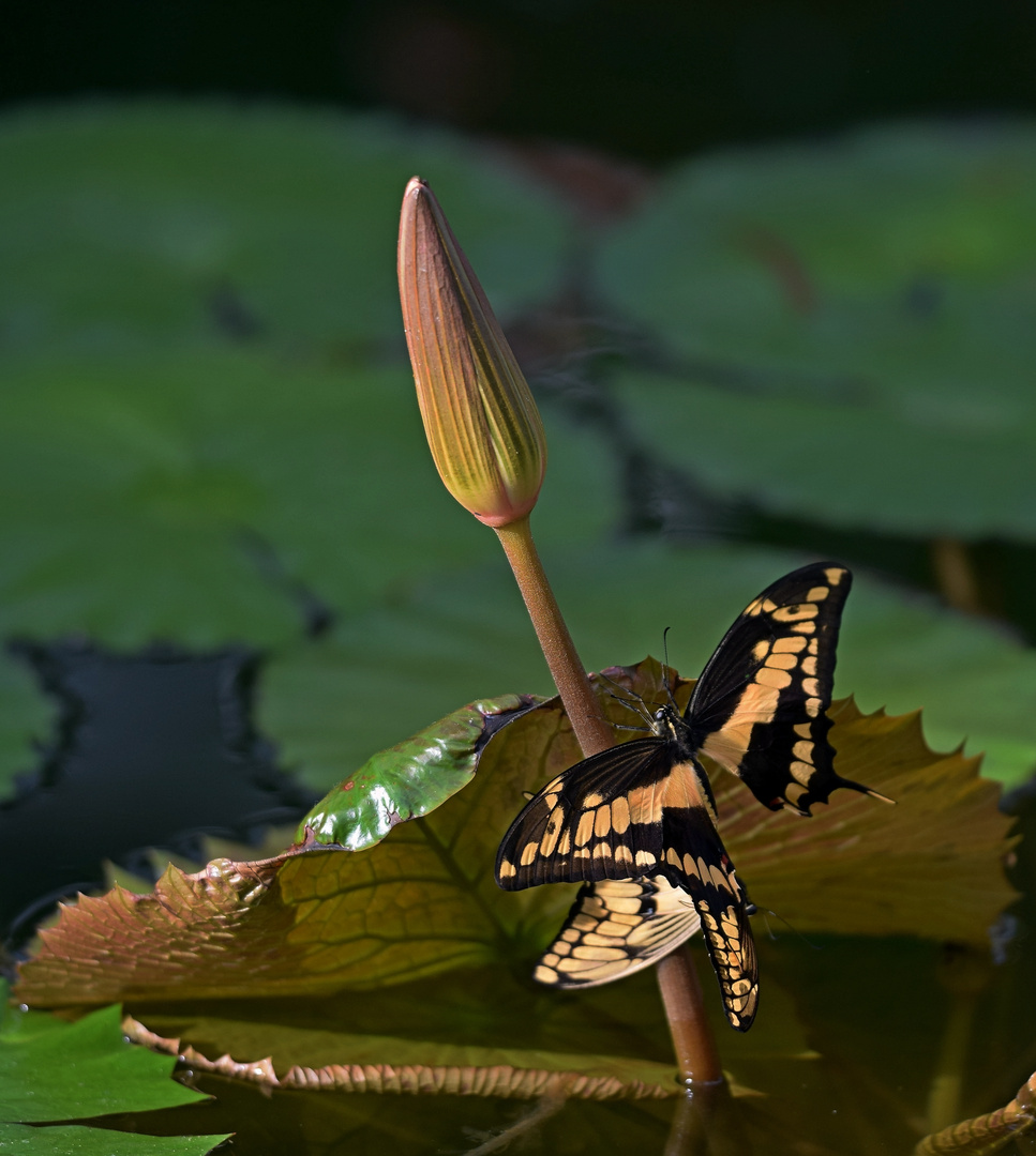 Schwalbenschwanz bei der Paarung