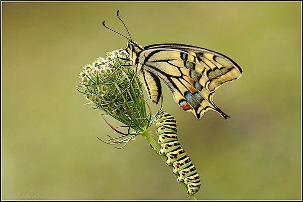 Schwalbenschwanz, genannt Papilio machaon
