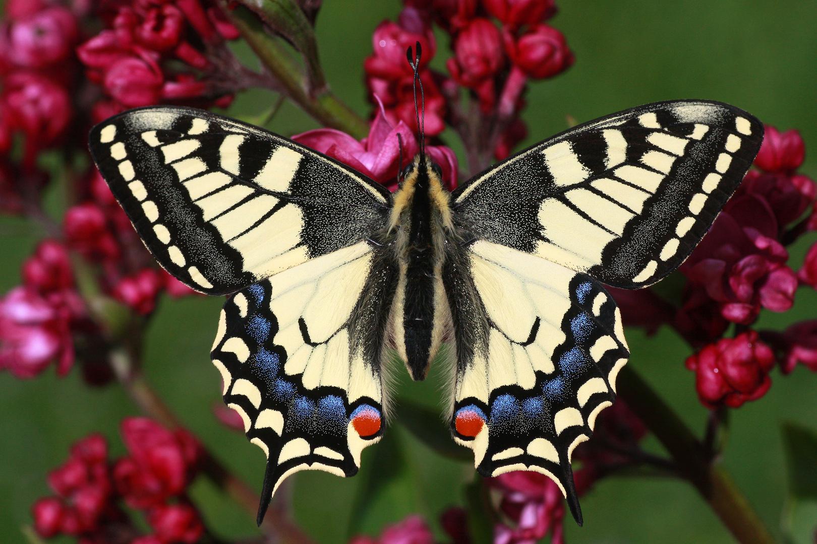 Schwalbenschwanz oder Old World Swallowtail (Papilio machaon) 10