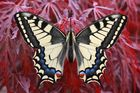 Schwalbenschwanz oder Old World Swallowtail (Papilio machaon) 2