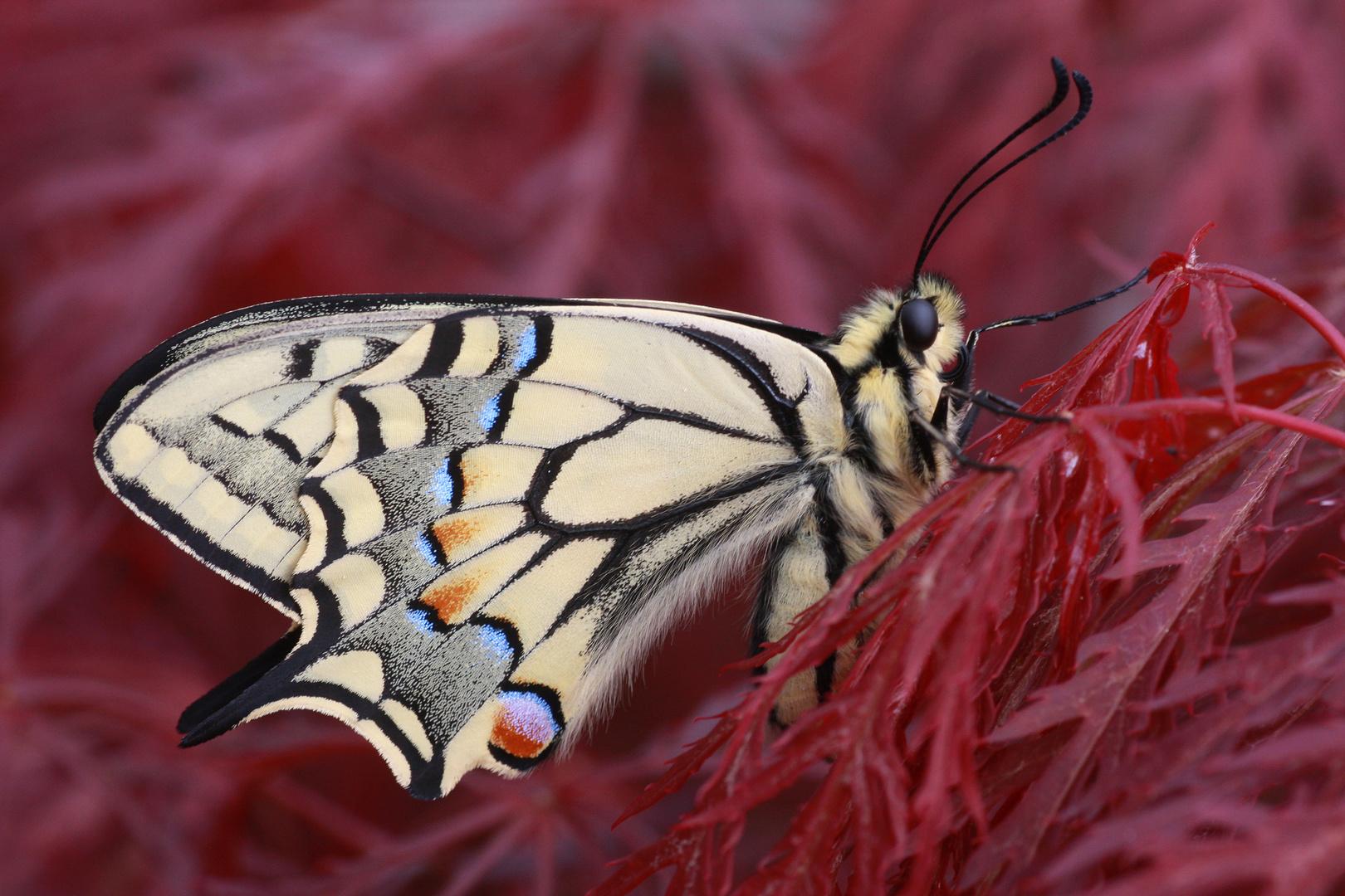Schwalbenschwanz oder Old World Swallowtail (Papilio machaon) 3