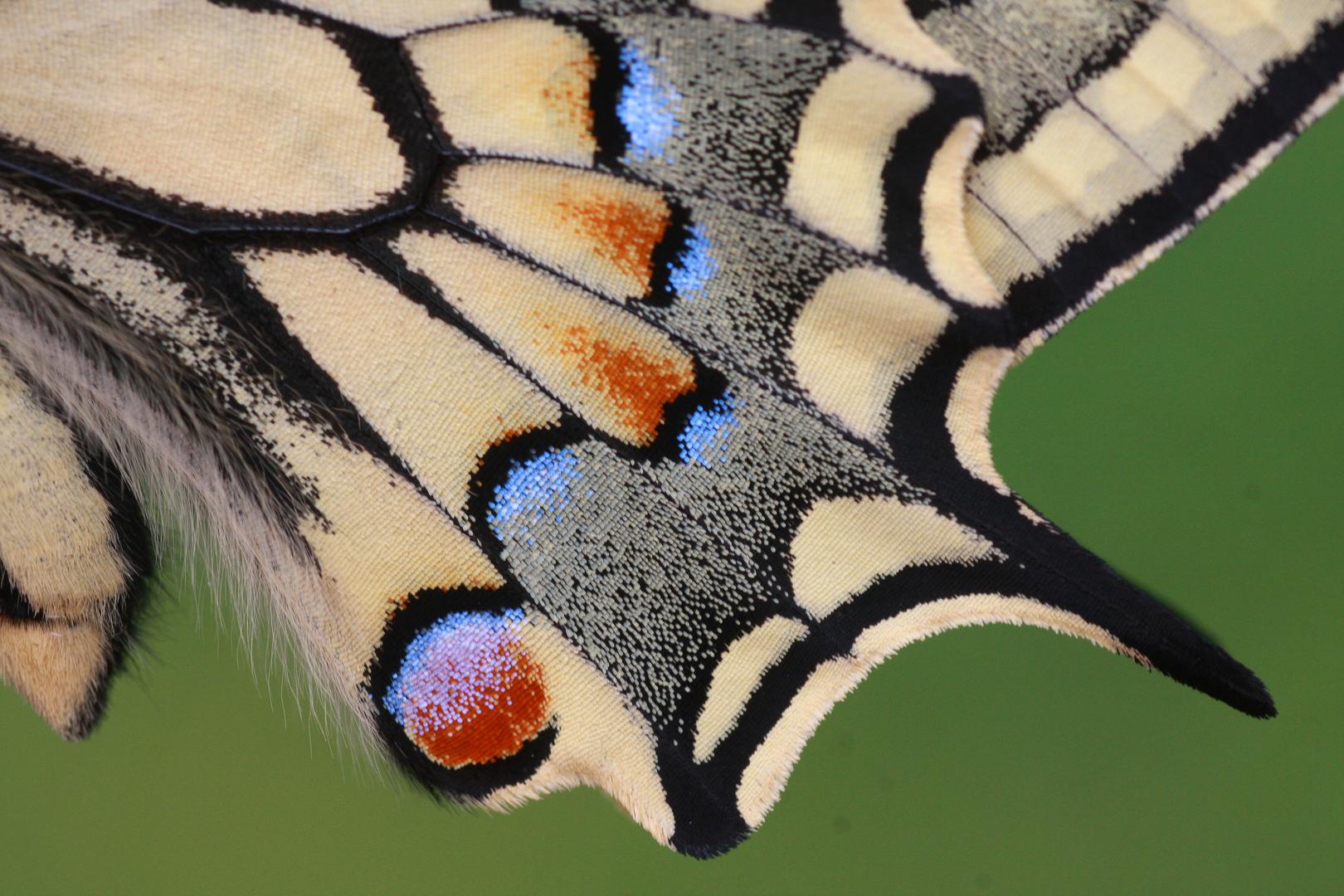 Schwalbenschwanz oder Old World Swallowtail (Papilio machaon) 4