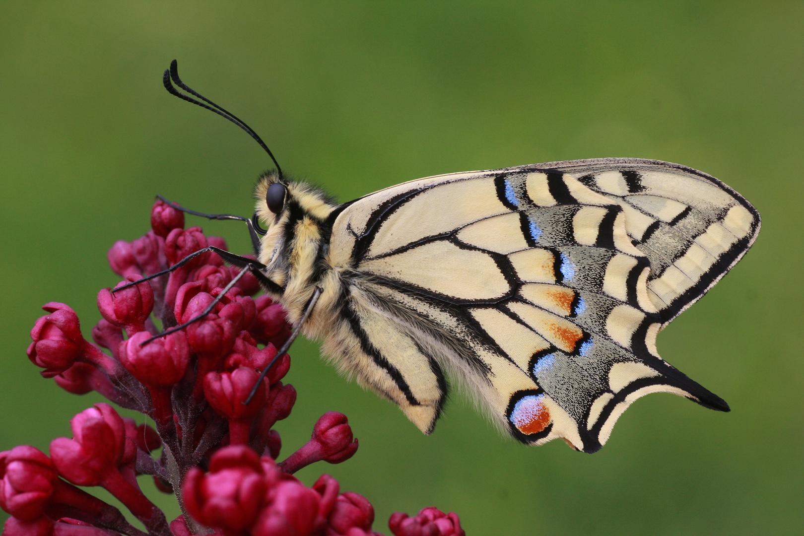 Schwalbenschwanz oder Old World Swallowtail (Papilio machaon) 5