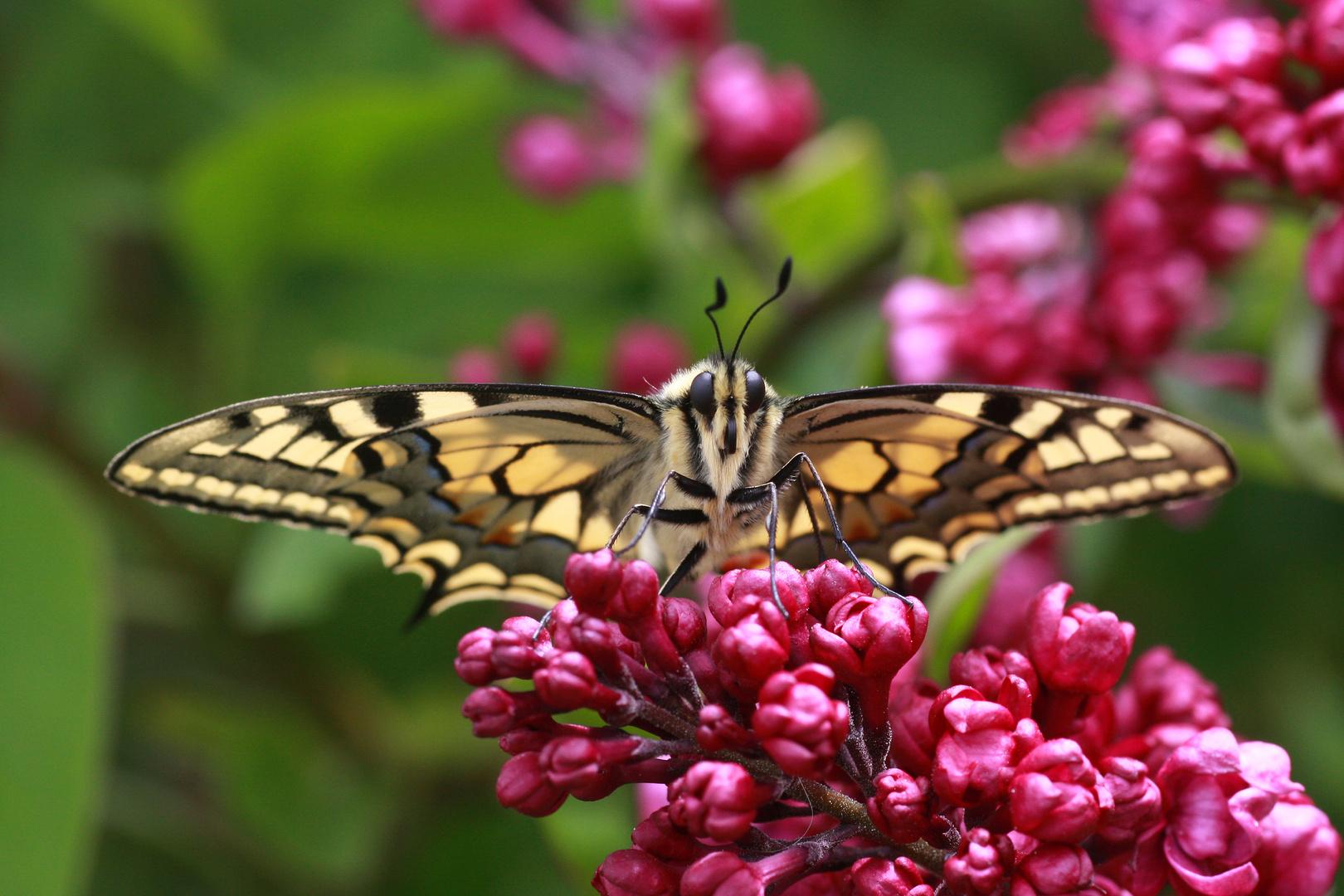 Schwalbenschwanz oder Old World Swallowtail (Papilio machaon) 7