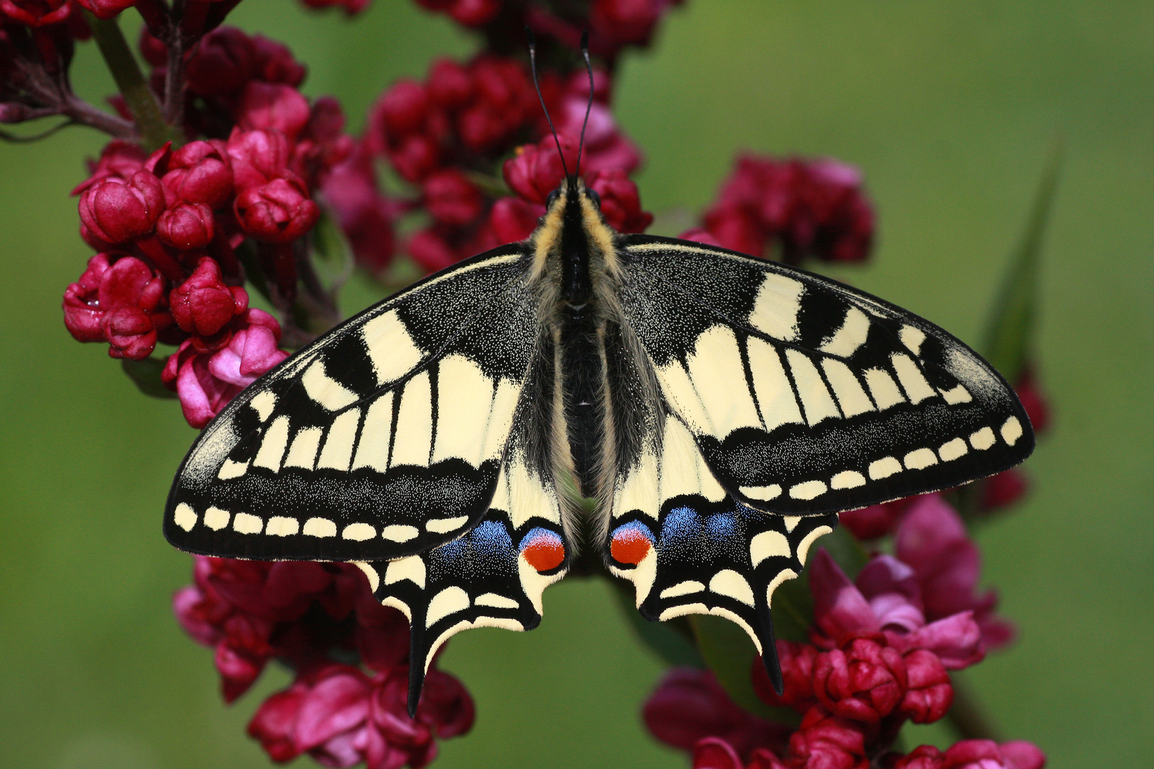 Schwalbenschwanz oder Old World Swallowtail (Papilio machaon) 8