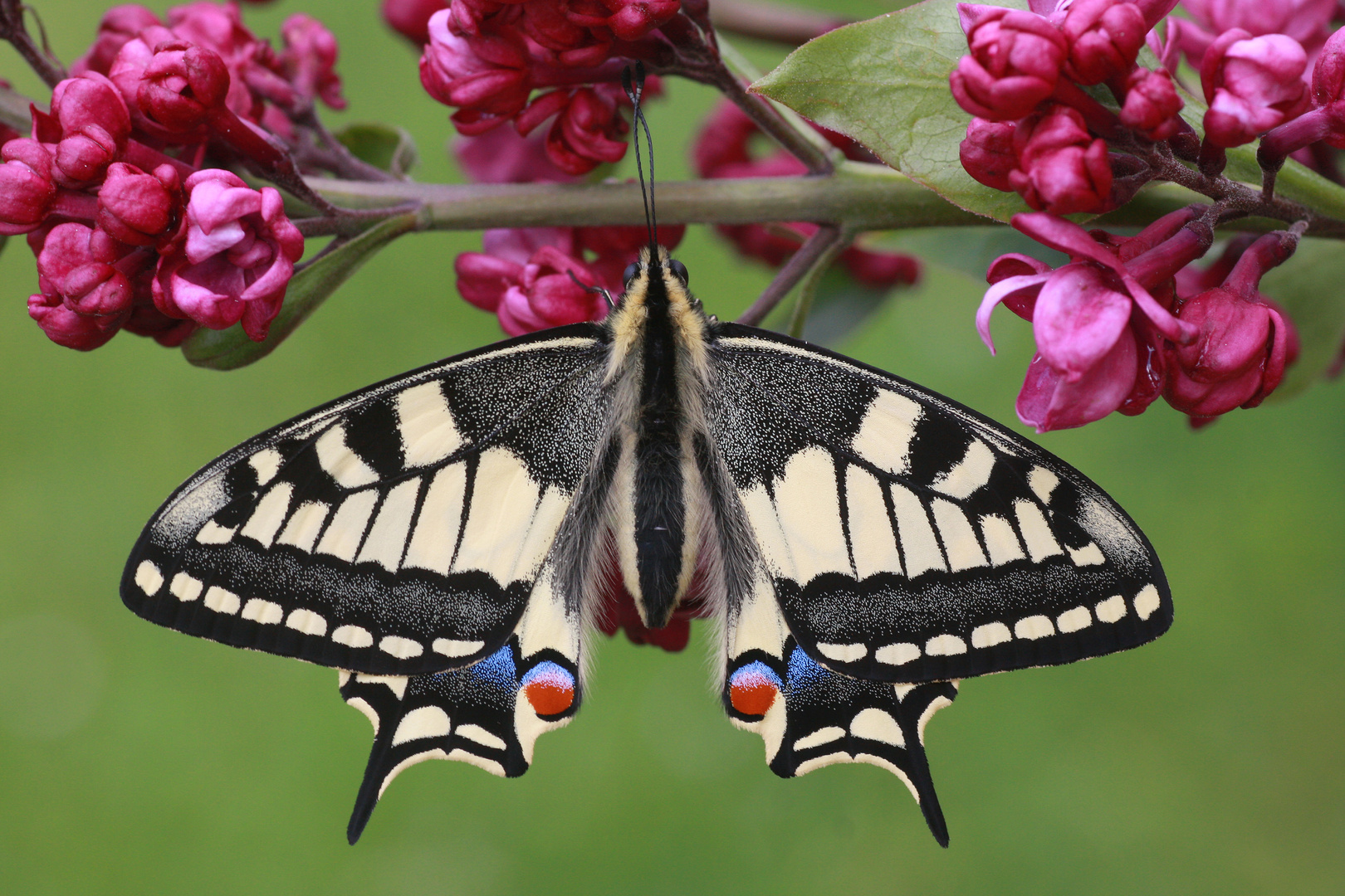 Schwalbenschwanz oder Old World Swallowtail (Papilio machaon) 9