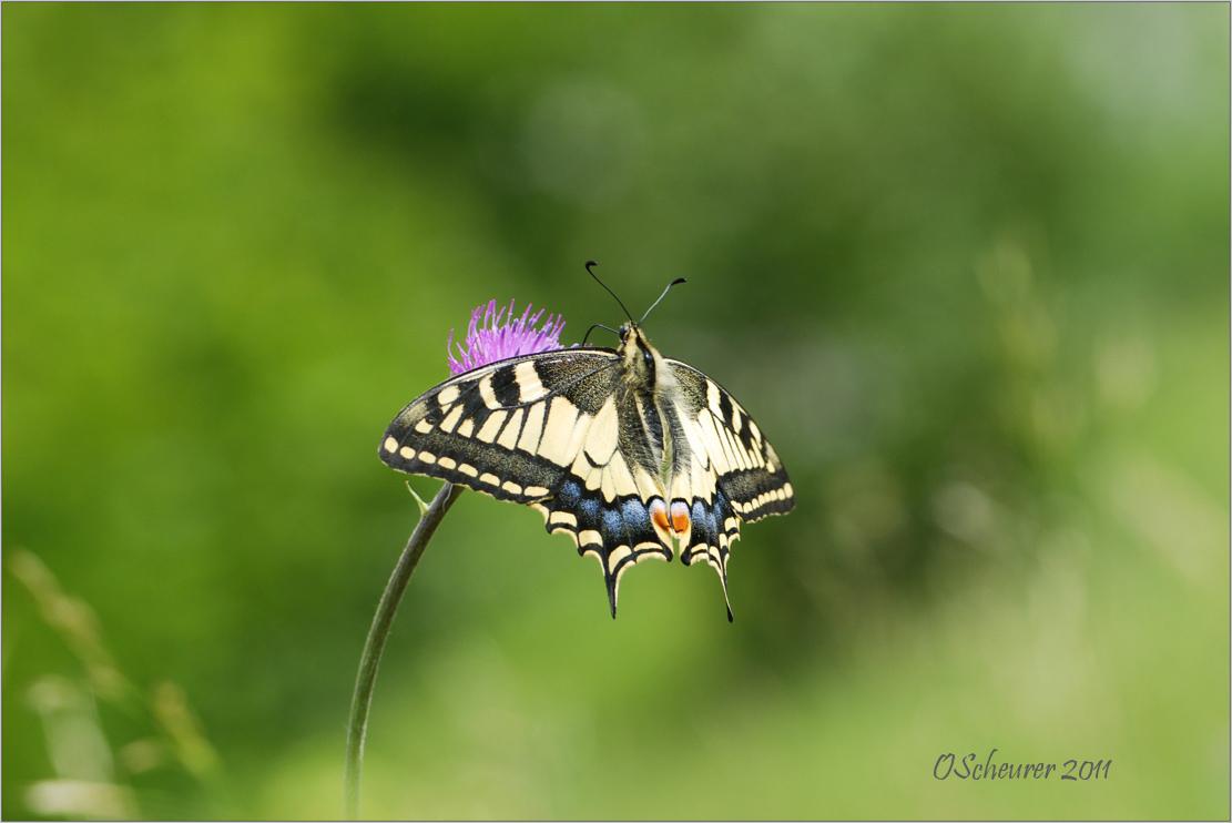 Schwalbenschwanz - Papilio machaon