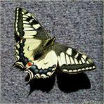 ...Schwalbenschwanz... Papilio machaon...