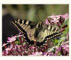 Schwalbenschwanz (Papilio machaon) -