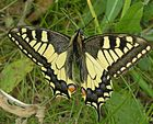 Schwalbenschwanz (Papilio machaon L.)