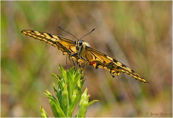 Schwalbenschwanz Schmetterling 1
