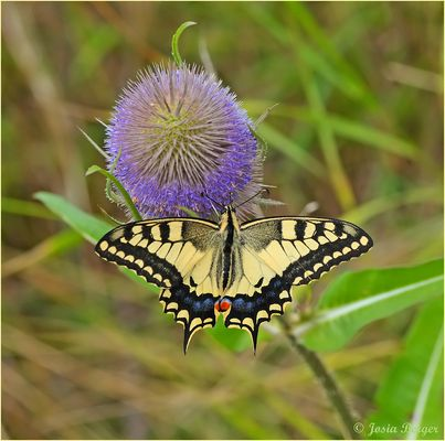 Schwalbenschwanz Schmetterling 7