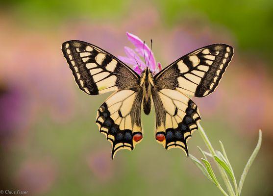 Schwalbenschwanz-Schmetterling**