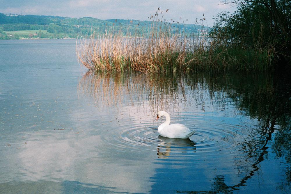 Schwan am Greifensee