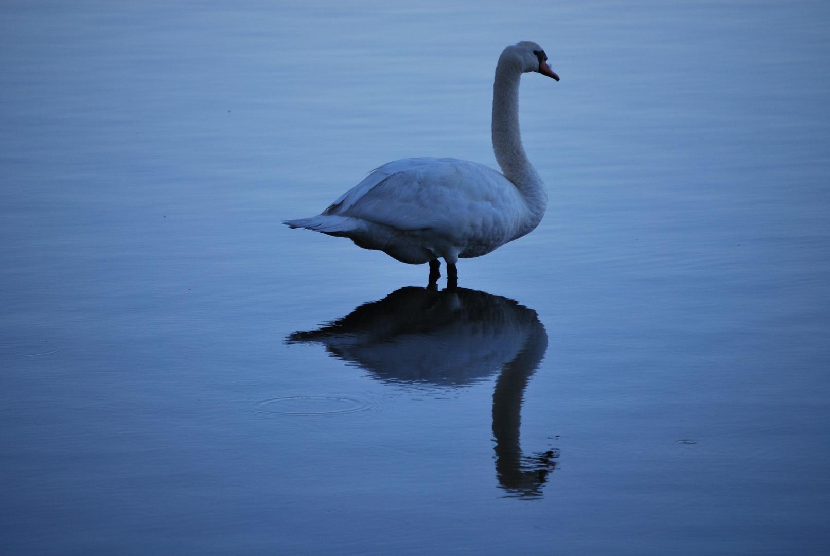 Schwan am großen Teich