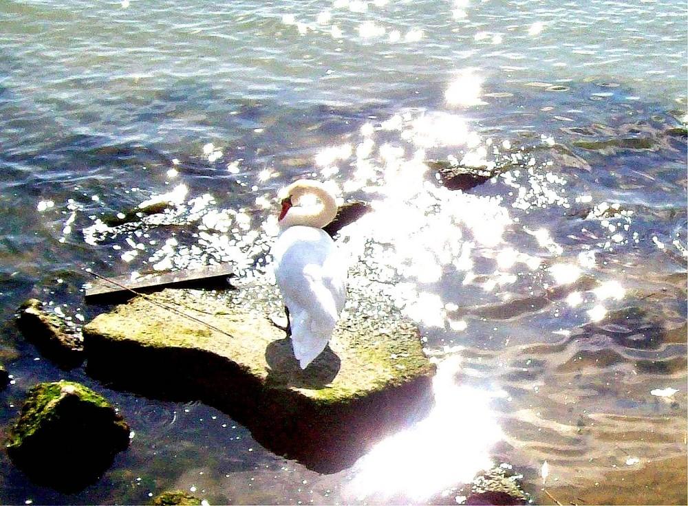 Schwan am Ufer (Qualität leider miserabel)