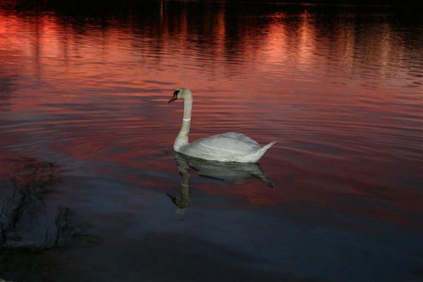 Schwan bei Sonnenuntergang