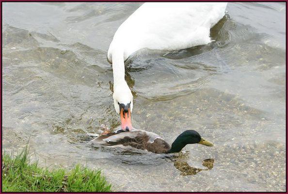 Schwan gegen Ente