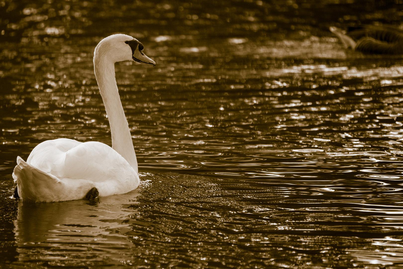 Schwan im goldenen Wasser