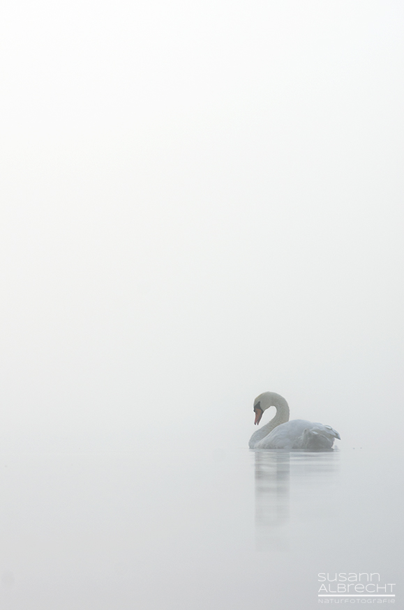 Schwan im Nebel
