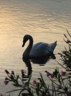 Schwan im Sonnenuntergang I
