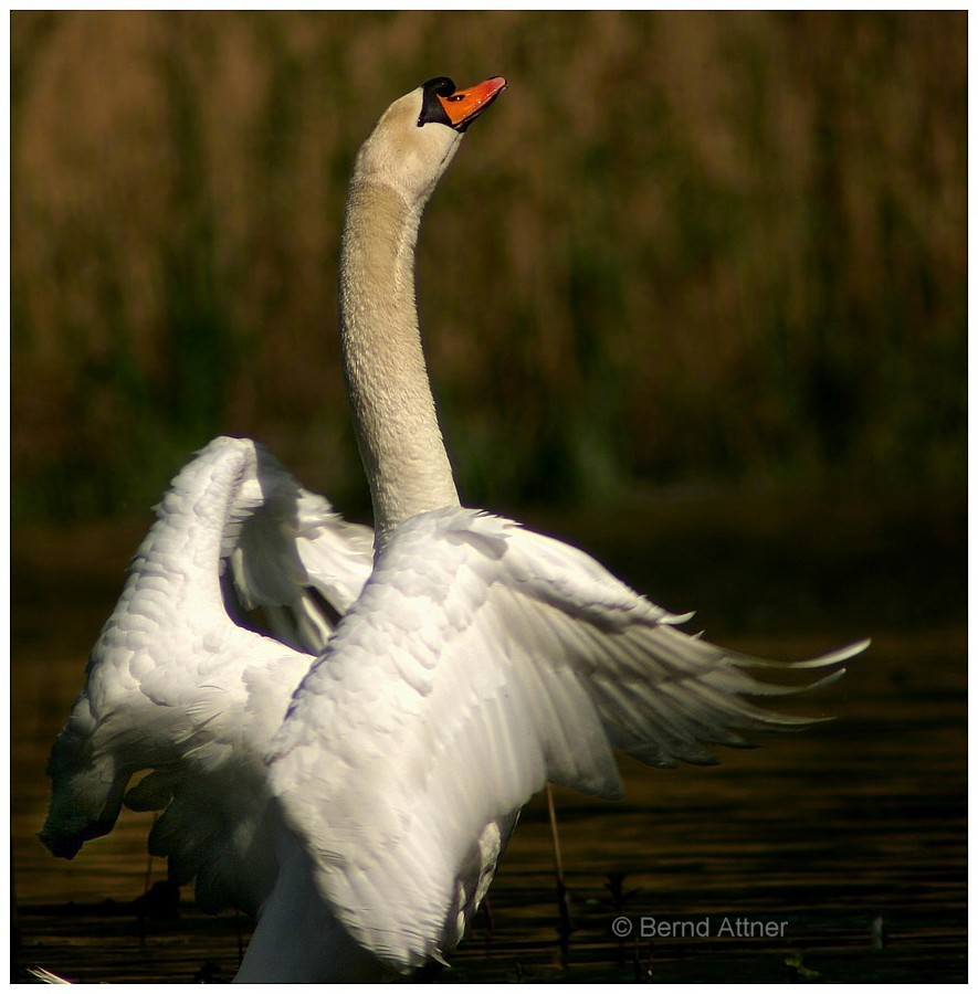 Schwan in Imponierpose