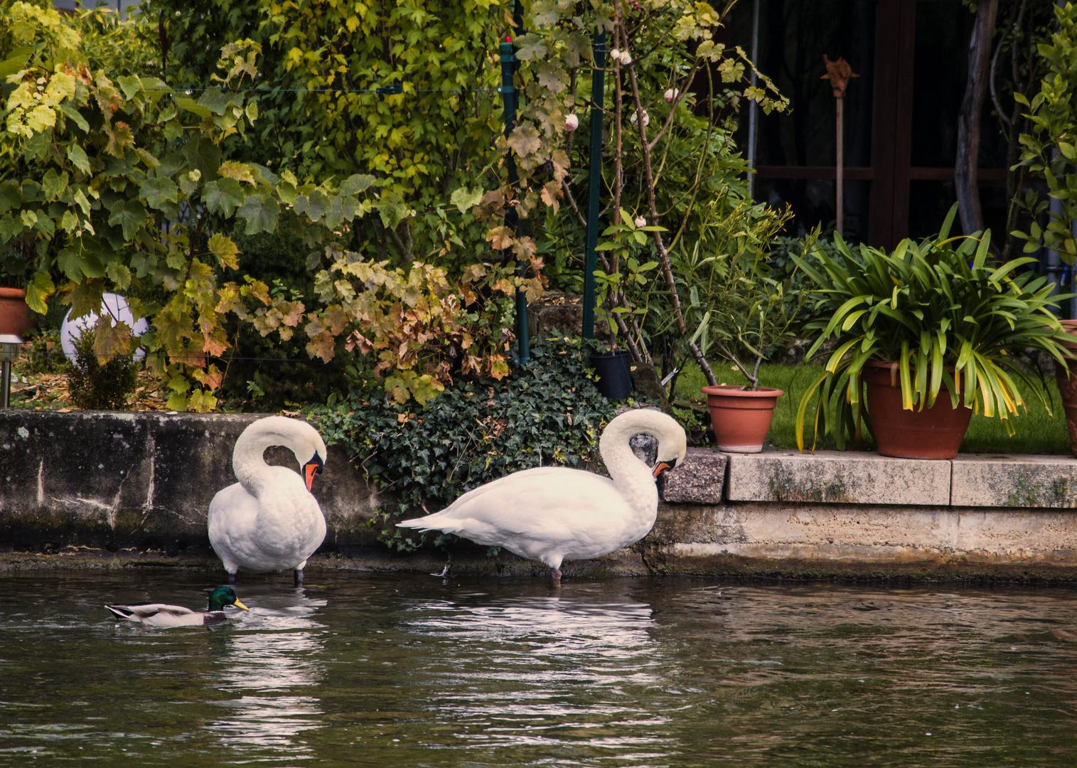 Schwan in Klein Venedig