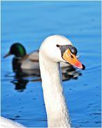 Schwan kreuzt Ente