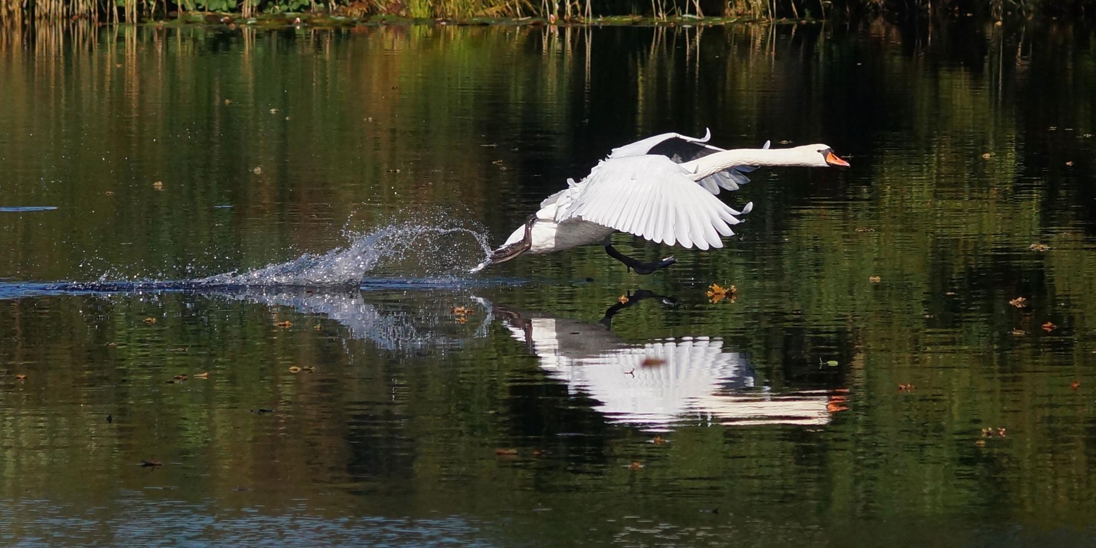 Schwan-Landung