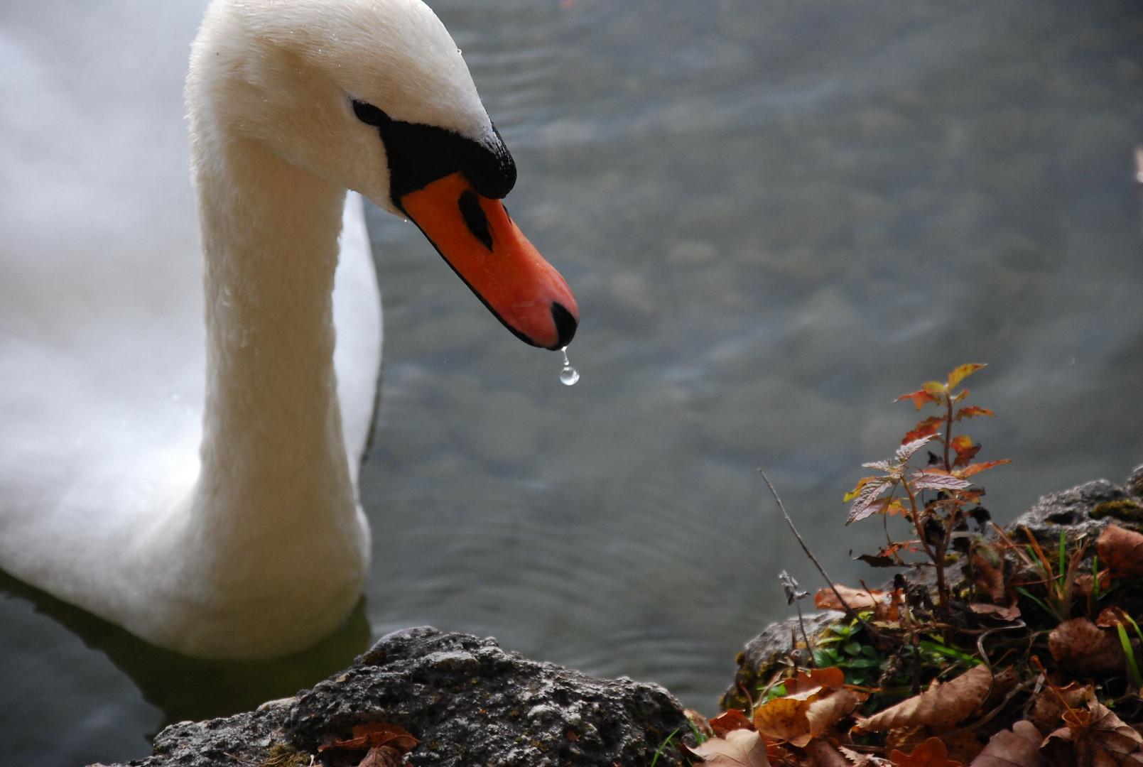 Schwan mit tropfendem Schnabel / Swan with a Dripping Beak