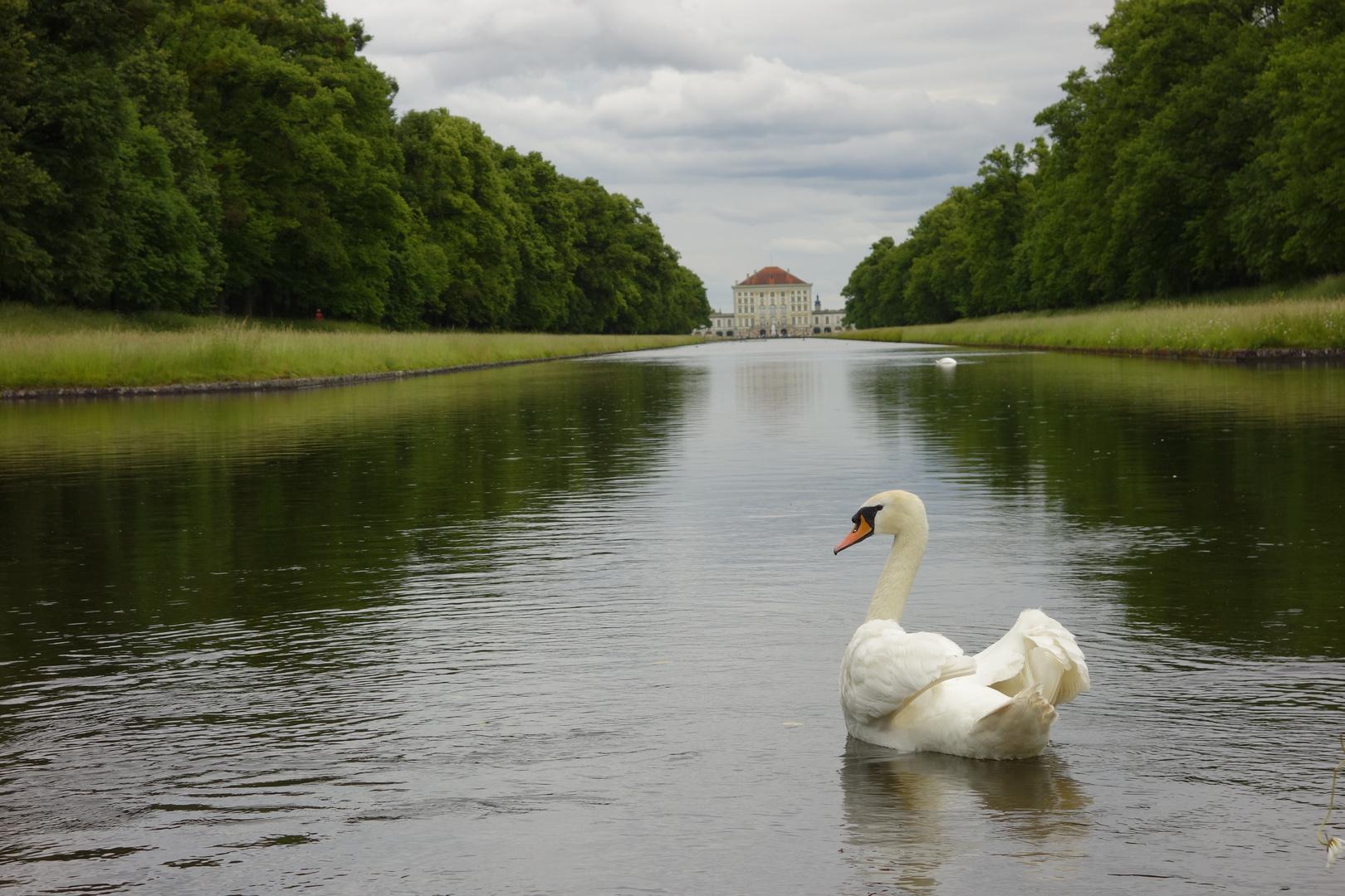Schwan Nymphenburger Schlosspark
