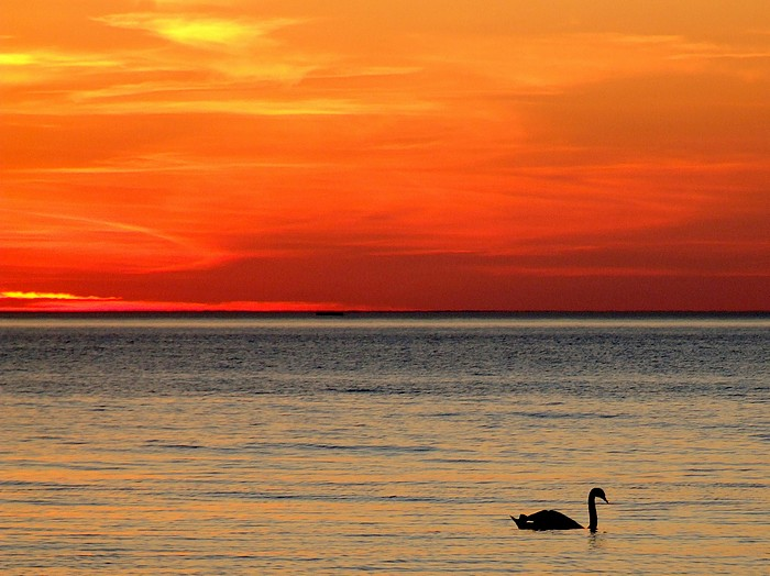 Schwan vor Sonnenuntergang ...
